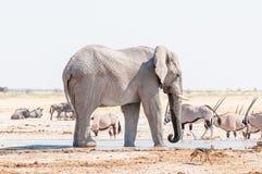 Afrykański słoń, czerni podpartego szakala i oryx przy waterhole Obraz Stock