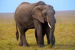 Afrykański słoń, Kenja, Afryka Zdjęcia Royalty Free