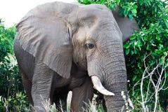 Afrykański słoń (Loxodonta Africana) Zdjęcie Stock