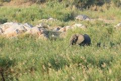 Afrykański słoń - Loxodonta africana Zdjęcie Royalty Free