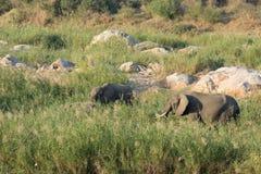Afrykański słoń - Loxodonta africana Zdjęcie Stock