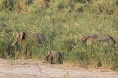 Afrykański słoń - Loxodonta africana Fotografia Stock