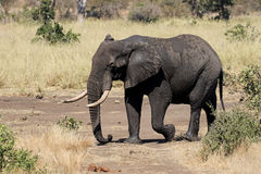 Afrykański słoń, Loxodonta africana Obraz Royalty Free