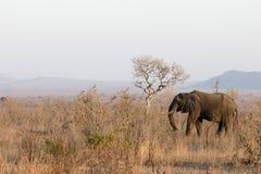 Afrykański słoń, Loxodonta africana Zdjęcie Stock
