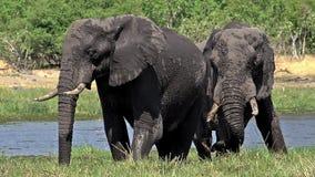 Afrykański słoń, loxodonta africana, dorosli je trawy blisko Khwai rzeki, Moremi rezerwa, Okavango delta w Botswana, zbiory