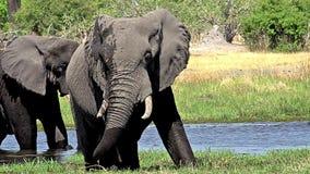 Afrykański słoń, loxodonta africana, dorosli je trawy w Khwai rzece, Moremi rezerwa, Okavango delta w Botswana, zdjęcie wideo