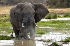 afrykański słoń loxodonta africana krzaka Obrazy Royalty Free