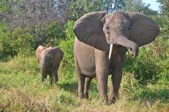 afrykański słoń loxodonta africana krzaka Zdjęcia Stock