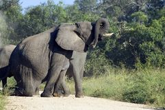 afrykański słoń loxodonta africana krzaka Obrazy Stock