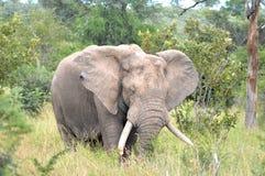 afrykański słoń loxodonta africana krzaka Fotografia Stock