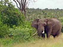 afrykański słoń loxodonta africana krzaka Zdjęcie Stock