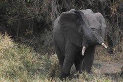 afrykański słoń loxodonta africana krzaka Zdjęcie Royalty Free