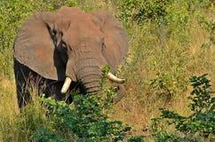 afrykański słoń loxodonta africana krzaka Obraz Royalty Free