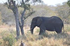 afrykański słoń loxodonta africana krzaka Fotografia Royalty Free