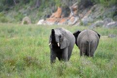 afrykański słoń loxodonta africana krzaka zdjęcia royalty free