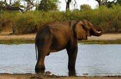 Afrykański słoń na Savuti kanale Obrazy Stock