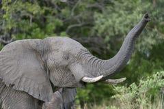 Afrykański słoń obwąchuje powietrze Zdjęcie Stock