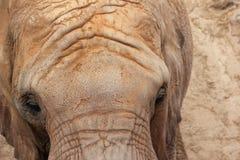 Afrykański słoń (Pachyderm). fotografia royalty free