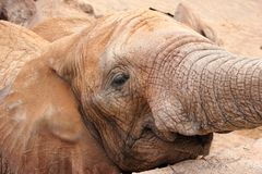 Afrykański słoń (Pachyderm). zdjęcia royalty free