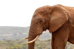 Afrykański słoń patrzeje w dół ziemia Fotografia Stock