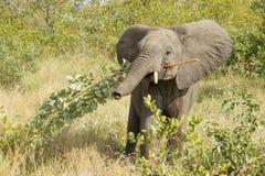 Afrykański słoń Południowa Afryka (Loxodonta africana) Fotografia Stock