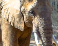 Afrykański słoń przy Birmingham zoo zdjęcia royalty free