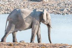 Afrykański słoń przy waterhole w Północnym Namibia Fotografia Royalty Free