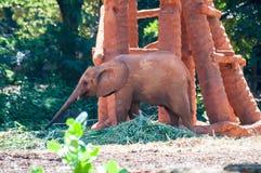Afrykański słoń przy zoo, Tajlandia Obraz Stock