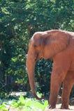 Afrykański słoń przy zoo, Tajlandia Obrazy Stock