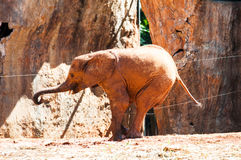 Afrykański słoń przy zoo, Tajlandia Obraz Royalty Free