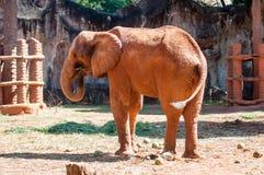 Afrykański słoń przy zoo, Tajlandia Zdjęcie Stock