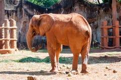Afrykański słoń przy zoo, Tajlandia Obrazy Royalty Free