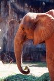 Afrykański słoń przy zoo, Tajlandia Fotografia Royalty Free