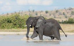 Afrykański słoń, Savuti, Botswana Zdjęcia Royalty Free