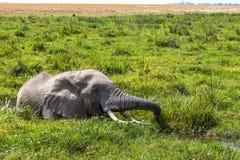 Afrykański słoń ucieka od muszek w bagnie Amboseli, Kenja Obraz Stock