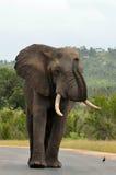 Afrykański słoń w Kruger parku narodowym. (loxodonta africana) Obrazy Royalty Free
