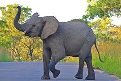 Afrykański słoń w Kruger parku narodowym. (loxodonta africana) Zdjęcia Royalty Free
