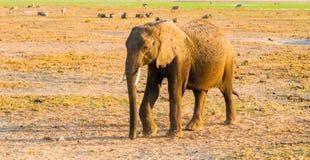 Afrykański słoń w naturalnym siedlisku, Tarangire park narodowy, Tanzania, Afryka Fotografia Stock