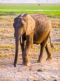 Afrykański słoń w naturalnym siedlisku, Tsavo park narodowy, Kenja, Afryka Fotografia Stock