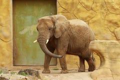 Afrykański słoń w zoo w Dvur Kralove zdjęcia royalty free