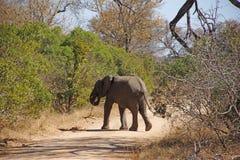 Afrykański słoń z gałąź krzyżuje sposób Obrazy Stock