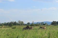Afrykański safari, ściska zebry, Mlilwane przyrody sanktuarium w Swaziland, afryka poludniowa, natury podróży miłość Zdjęcia Stock