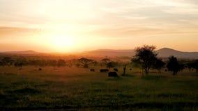 Afrykański sawanna krajobraz Przy zmierzchem Z Akacjowymi drzewami I Pastwiskowym bizonem zdjęcie wideo