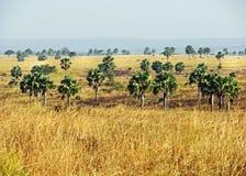 Afrykański sawanna krajobraz Uganda & drzewka palmowe fotografia royalty free
