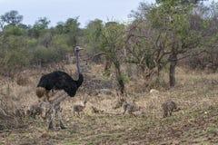 Afrykański struś w Kruger parku narodowym, Południowa Afryka Zdjęcia Royalty Free