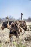 Afrykański struś w Kruger parku narodowym, Południowa Afryka Fotografia Royalty Free
