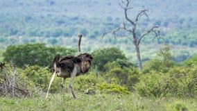 Afrykański struś w Kruger parku narodowym, Południowa Afryka Obrazy Royalty Free