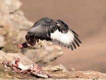 Afrykański szakala myszołów bierze daleko z mięsem na kości Obrazy Royalty Free