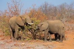afrykański target602_1_ słoni Obrazy Stock