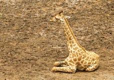 afrykański target1632_0_ żyrafy Obrazy Royalty Free